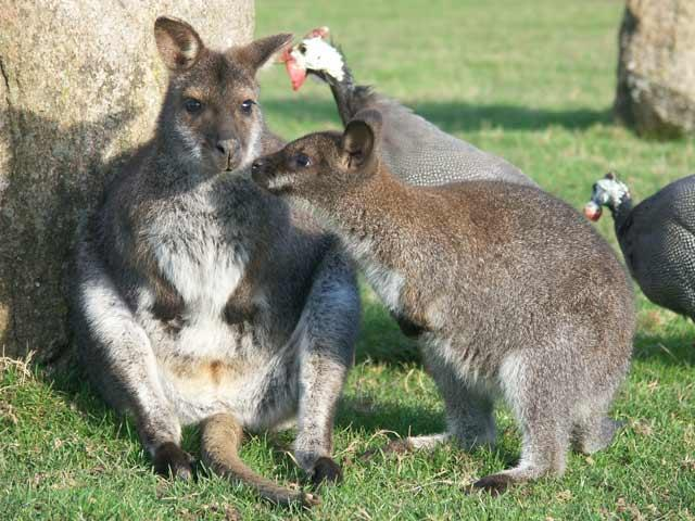 Le Wallaby de Bennett